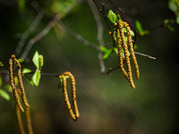 River Birch Seeds 675