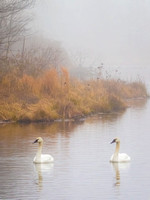 Morning with Swans 937