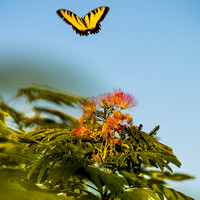Mimosa and Butterfly