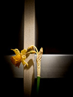 The Last Daffodil