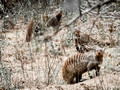 Banded Mongoose Trifecta