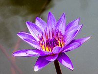 Water Lily 86