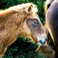 Assateague Colt