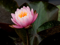 Pink Water Lily 61